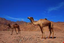 Cammellata nel deserto di Sinai