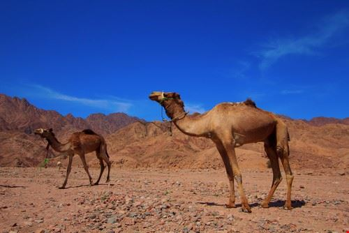 52610 sharm el sheikh cammellata nel deserto di sinai