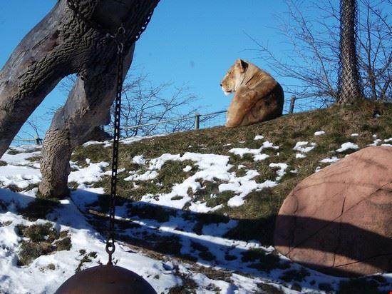 54354 toronto una leonessa allo zoo di toronto