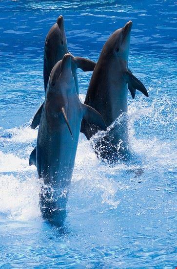 Uno spettacolo di delfini