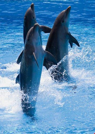 Foto uno spettacolo di delfini a rimini 363x550 autore - Foto di uno shamrock ...