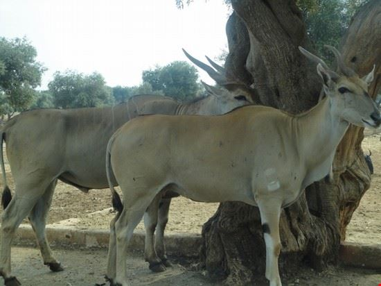 antilope fasano