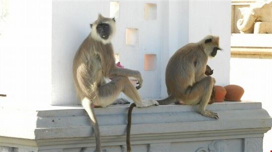 le scimmie