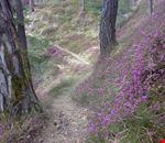 eriche in fiore nei boschi a Panchià