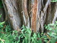 Le sequoie