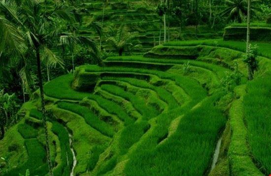 Ubud Ricefield