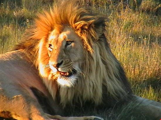 Lion at the Addo Elephant Park