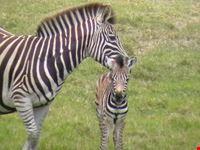 Zebra at the Addo Elephant Park