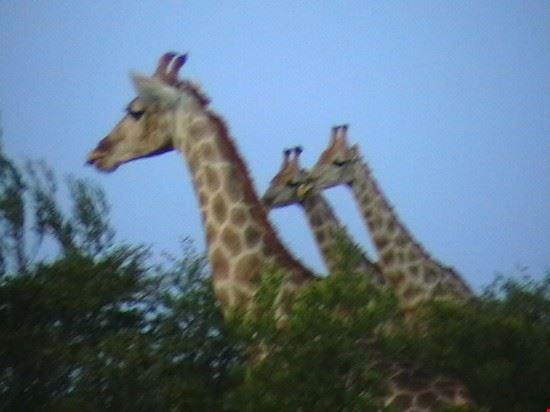 Giraf at a private Park