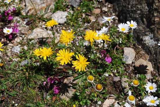 Foto fiori di montagna a piverone 550x369 autore for Piccoli disegni di baite di montagna
