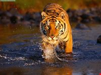 Royal Bengle Tiger