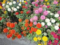 fiori ravello