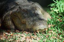 coccodrillo perth