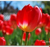 69545 verbania tulipani