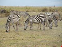 Zibras
