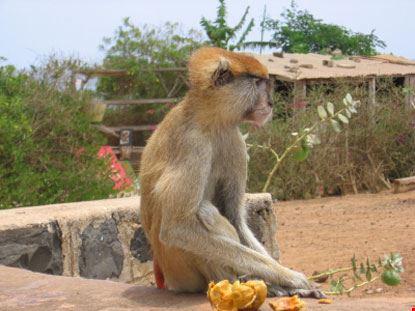 dakar scimmia africana