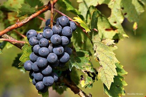 83815  festa dell uva e del vino