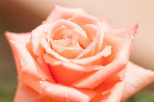84834  rose bar