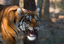 vedere le tigri