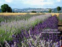 Assisi campi di lavanda