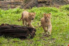 safari blu