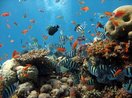Привлекая любителей. подводного плавания и профессиональных дайверов, всемирно известный Рас Nosrani имеет коралловые...