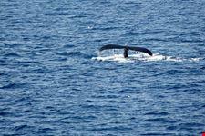 whale watching liguria