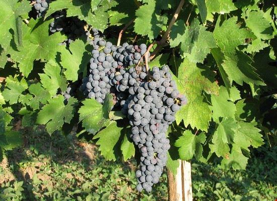 vitigno croatina piacentina