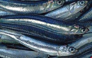 sagra pesce azzurro pollica