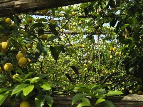 massa lubrense limone