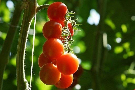 pomodoro-pachino