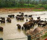 elefanti dello sri lanka