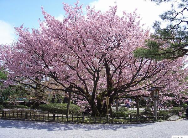 Allombra dei ciliegi in fiore: diari di viaggio